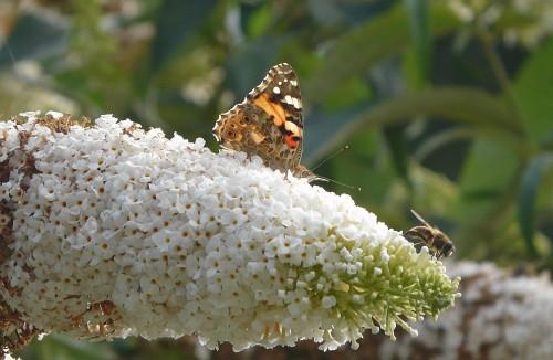 gm_vlinder